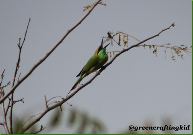 Bee eater eating drangonfly