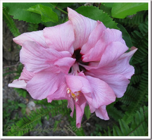 05-27-pink-hibiscus