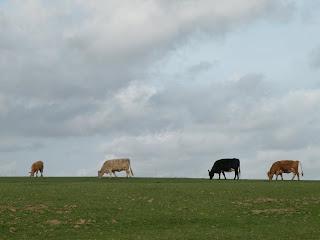 Четыре коровы на фоне неба и травы