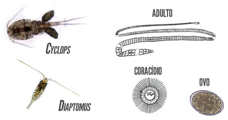 ciclul de viață al diphildobothriasis
