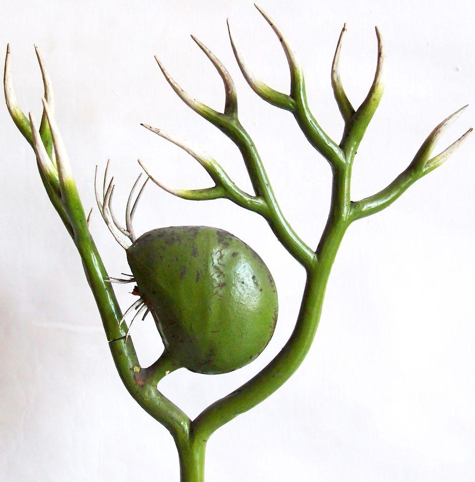 Пузырчатка обыкновенная (Utricularia vulgaris)
