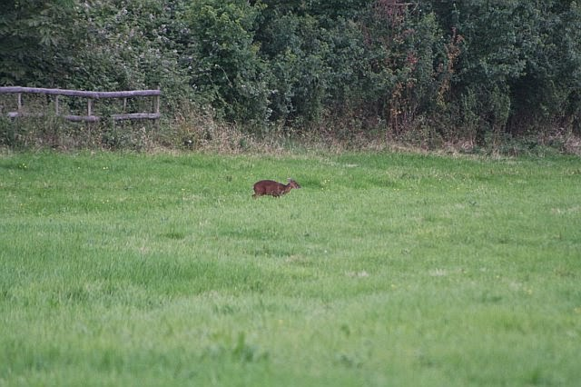 Woodhurst Wildlife Muntjac In The Grassfield - muntjac13.jpg