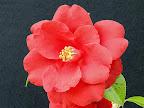 暗紅色 八重 蓮華咲き 筒しべ 大輪