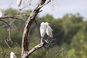 Egrets, Zambia