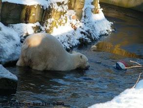 Photo: Sollte Knut den Ball aus dem Wasser holen ?