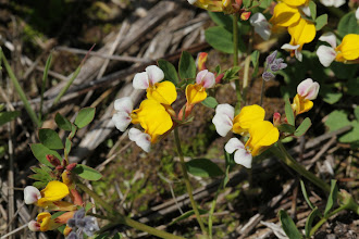 Photo: Lotus formosissimus (Greene, 1890) - Seaside Bird's-foot Trefoil aka Witch's Teeth