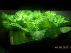 4 week Nevada summer crisp lettuce - harvesting (it's a heading lettuce, but can harvest outer leaves)