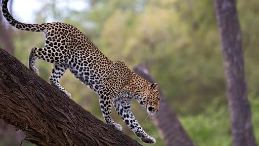 African Leopard, Samburu National Reserve, Kenya.jpg