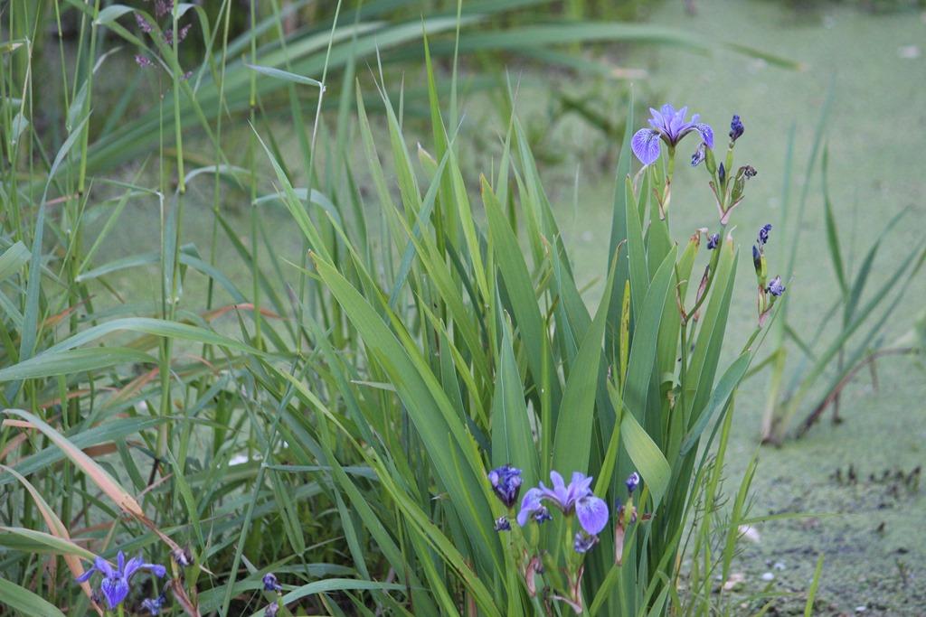 [Flag+Iris+is+blooming%5B5%5D]