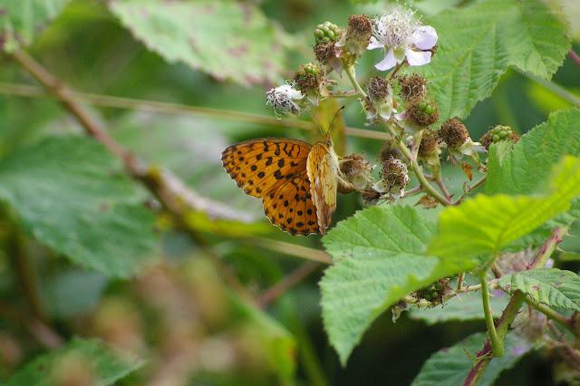 Brenthis daphne DENIS & SCHIFFERMÜLLER, 1775, mâle. Chevigny au Nord de Semur-en-Auxois. 18 juillet 2008. Photo : J.-M. Gayman