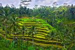 Rice terraces - Tegallalang, Bali