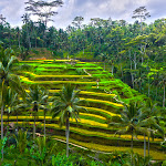 Rice terraces - Tegallalang, Bali