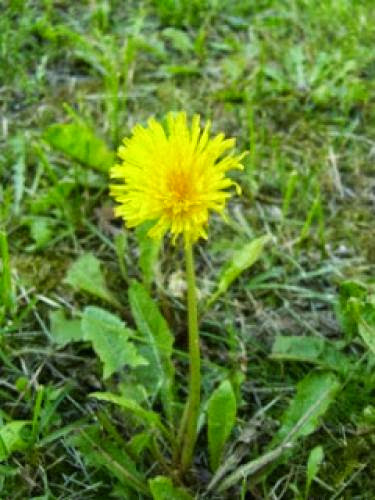 Herb Magic Dandelion Root