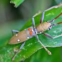 Bilobus Longhorn Beetle