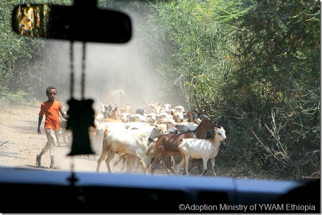 Goats in road 1