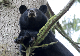Samast artiklist: A black bear rests in a tree in Port Moody, B.C. (Photo: Darren Quarin/Can Geo Photo Club)