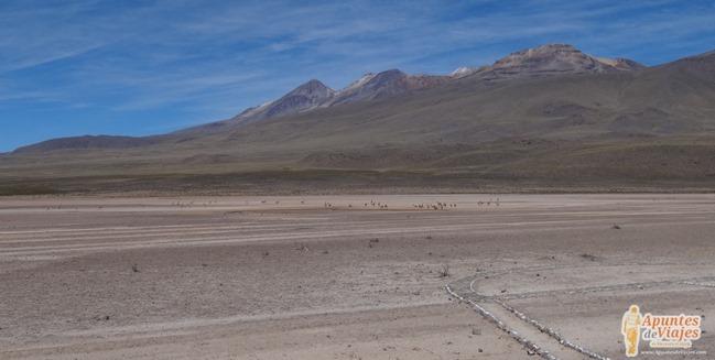 Vicuñas Volcanes Arequipa Chivay Perú 15