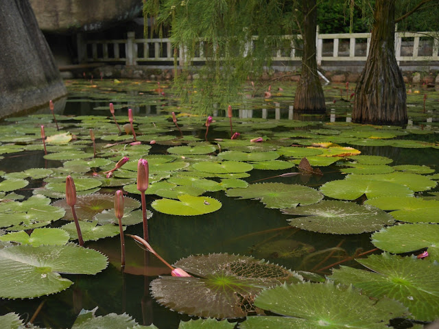 water lilies at Jingshan Park in Zhuhai