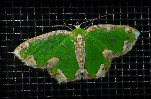 Geometridae : Geometrinae : Anisozyga insperata WALKER, 1861, femelle. Umina Beach (N. S. W., Australie),13 janvier 2012. Photo : Barbara Kedzierski