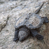 Baby-snapping-turtle_MG_2144-copy.jpg