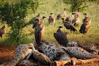 Vi er oppe og kigge ved den døde giraf igen ... og nu er gribbene kommet!