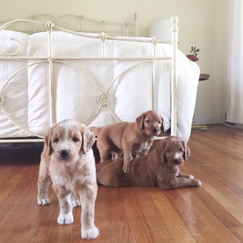 A day in the life of a Goldendoodle puppy     wrestle and