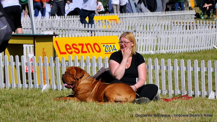 dogue de bordeaux samiec