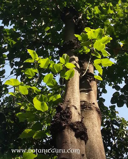 Sterculia campanulata leaves