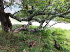 Chickens in the Grandmother tree.