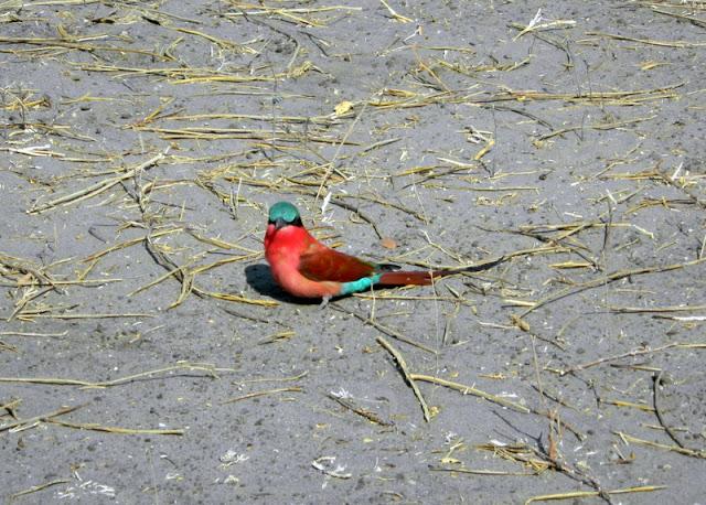 A beautiful bird in Chobe game reserve
