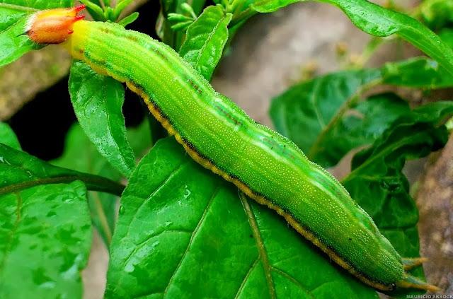 Chenille de Brassolidae : Opsiphanes sp. Environs de Curitiba (Paraná, Brésil), 16 octobre 2013. Photo : Mauricio Skrock
