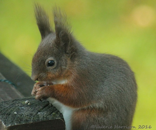 8-red-squirrel
