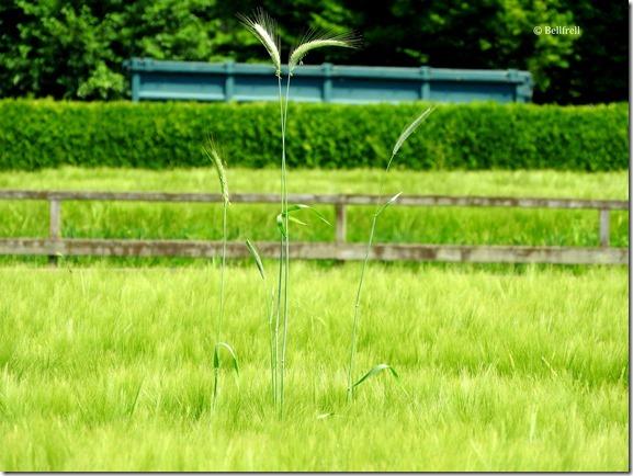 Hoch hinaus der Weizen