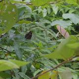 Hypolimnas bolina LINNAEUS, 1758, mâle. Port Barton, Palawan (Philippines), 12 août 2005. Photo : J.-M. Gayman