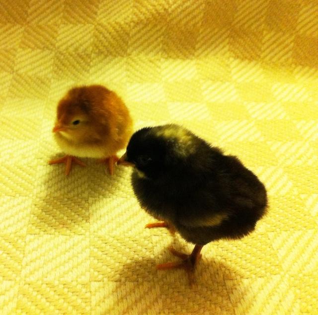 Farm Wife Journal Baby Chicks