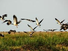 magpie_geese_1L.jpg