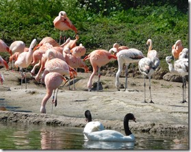 19 chilean flamingos