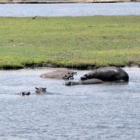 Chobe River hippos