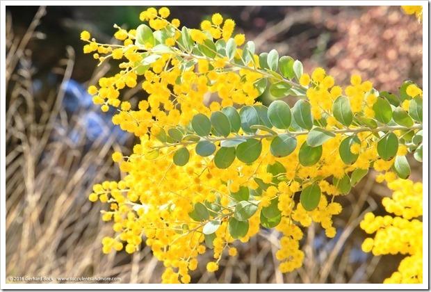 160215_UCDA_AcaciaGrove_Acacia-podalyriifolia_022