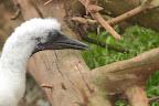 QUOI ? Jeune en duvet avant l'apparition des premières plumes noires sur les ailes et au bout de la queue