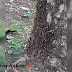 Fenomena Ulat Bulu Serang Perkebunan, Warga Tonjong Palabuhanratu Takut