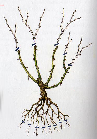 Pepinieres du bois de pieton la taille des rosiers - Comment tailler un rosier buisson ...