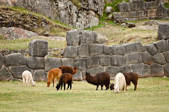 Photo: Lamas living la vida buena
