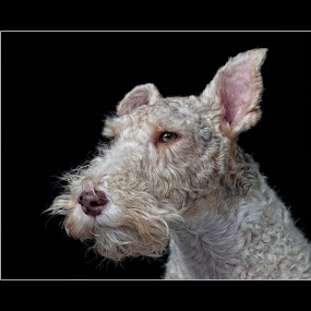 by John Kellaway - Animals - Dogs Portraits