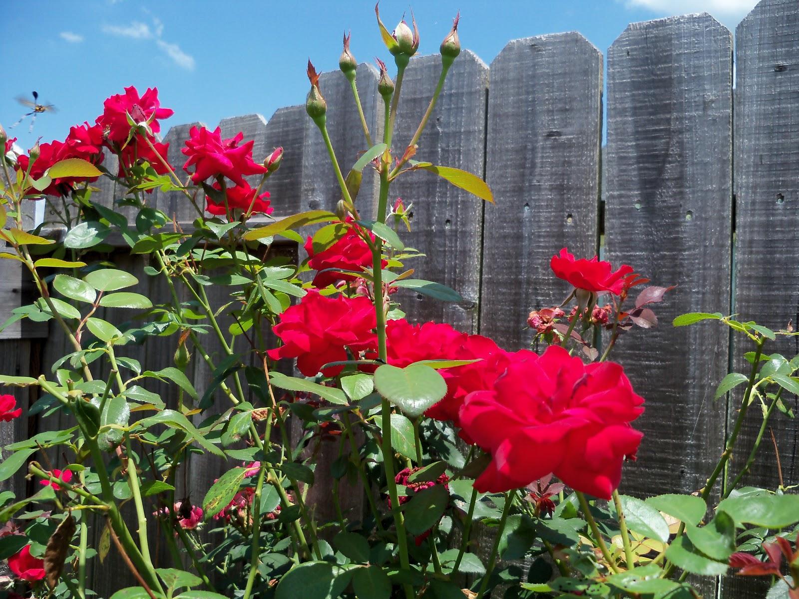 Gardening 2010, Part Three - 101_4891.JPG