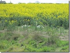Swans in oilseed rape field