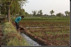 irrigation in field