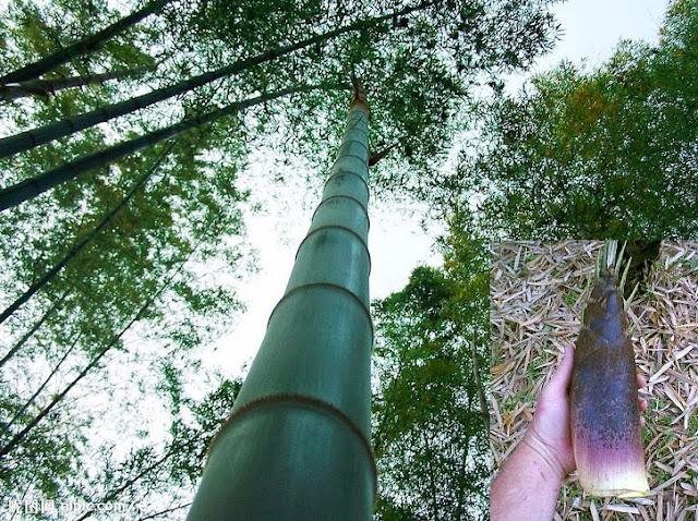 Moso Bamboo Phyllostachys edulis