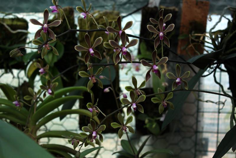 Phalaenopsis honghenensis - Page 2 IMG_2276