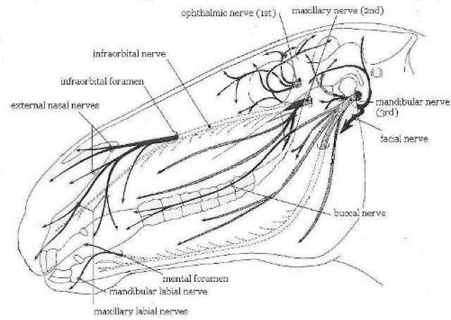 Horse Muzzle Diagram - Block And Schematic Diagrams •